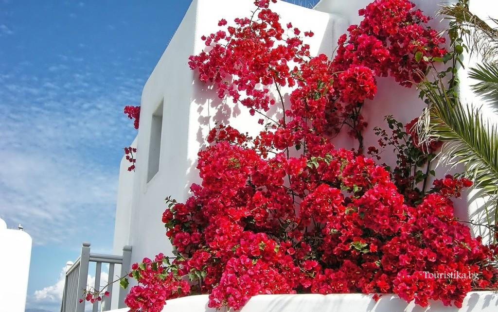 Белите къщи с цъфнали бугенвилии навсякъде в Миконос