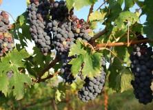 Винарството в Тоскана е с вековни традиции